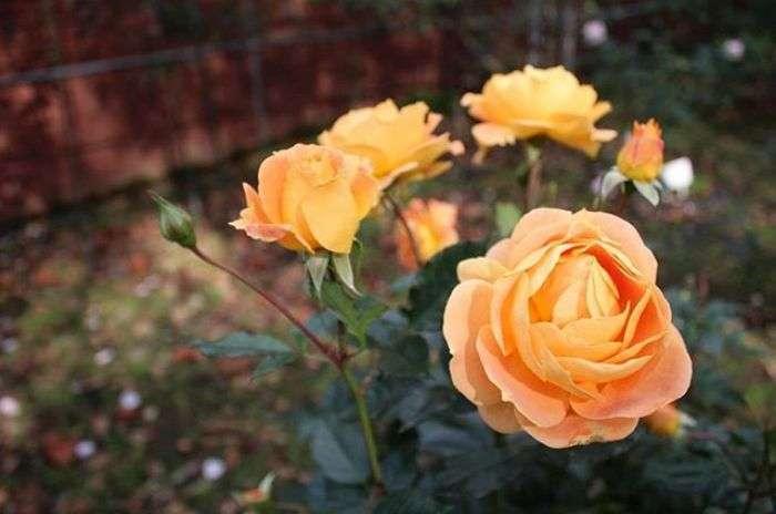 Love Rose Flower Images Free Download Download